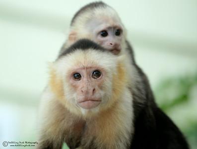 White-headed capuchin monkey, Cebus capunicus, with her baby, Honduras