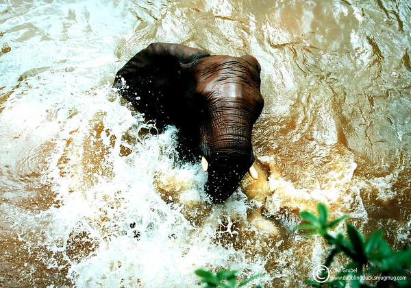 A female African Brush Elephant (different from last), Loxodonta africana, playing in the water: Zoo Atlanta