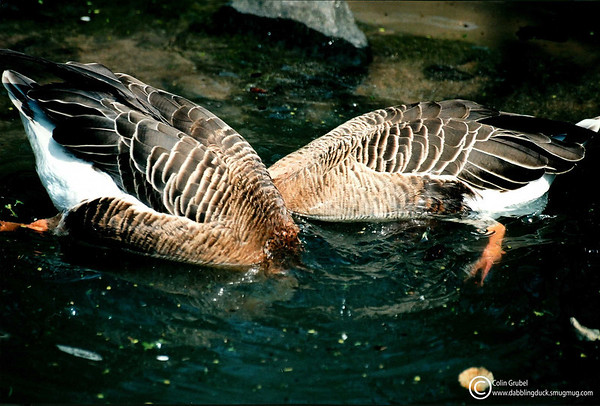 dabbling Swan Geese, Anser cygnoides: Central Park Zoo, NY, NY.